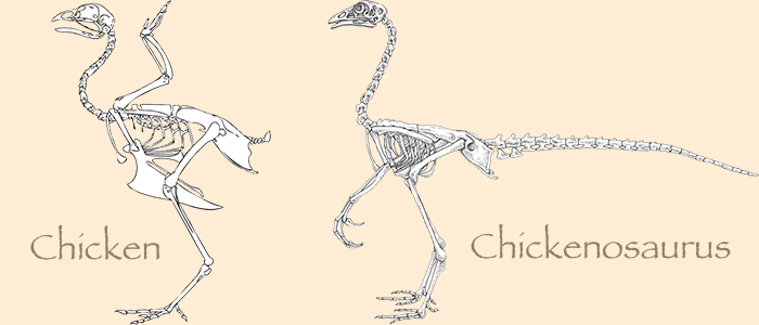 chicken and chickenosaurus skeletons